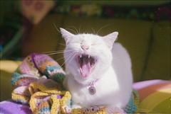 (333Bracket) Tags: nikonem50mmf18 london 333bracket 35mm film analogue cat white lola yawn animal cute stupid dof whiskers