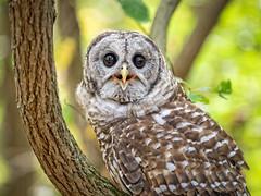 EM1B1612-Edit (Bob Gilley) Tags: barred owl captive