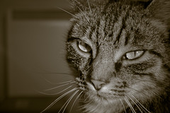 _MG_7100 (chambo17) Tags: pet cats pets animals sepia canon eyes head tiger kitty naturallight headshot whiskers kitties stare freckles 500d