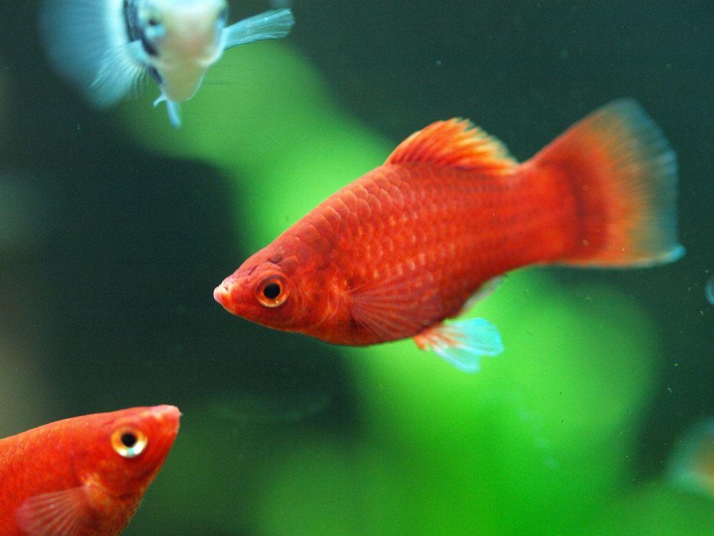 The World\'s newest photos of platy and xiphophorus - Flickr Hive Mind
