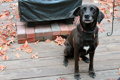 """Raven -- """"It was those thievin', good-for-nothin' chipmunks, I tell ya!"""" (Jack W. Pearce) Tags: dog pet raven rescuedog"""