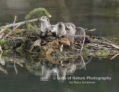 Otter Family Portrait - #2973 (Ross Swanson Photography) Tags: wildlife otters yellowstoneriver ynp yelllowstonenationalpark otterfamily