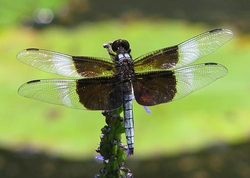 Widow skimmer in the lilypads