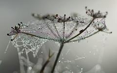 Spider web on fennel (nutmeg66) Tags: garden spider october web lincolnshire dew 2012 tamronsp90mmf25macro