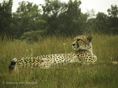 "Relaxing Cheetah • <a style=""font-size:0.8em;"" href=""http://www.flickr.com/photos/44019124@N04/8174930151/"" target=""_blank"">View on Flickr</a>"