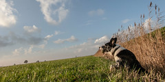 IMG_0932 (Bas Bloemsaat) Tags: autumn dog bordercollie najaar
