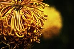 Allan Gardens Toronto 1 (Pete A. McLeod) Tags: flowers closeup aperture dof bokeh depthoffield greenhouse mcleod nikcolorefexpro nikkor50mm12 nikond7000