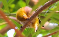 Oriental White-eye (Arsh_86) Tags: life park wild bird art nature canon garden eos wildlife kitlens ali khan 1100 arsh sadique 55250 1100d 55250mm 55250m canon1100d canoneosrebelt3 eos1100d eos1100 aliarsh sadiquepotography