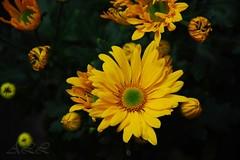 Bienvenida Isabel (-Ana Lía-) Tags: flores argentina flickr amarillo margaritas amistad mardelplata alegría aprehendiz rememberthatmomentlevel1