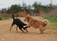 DSC06202 (bielv) Tags: dogs perros cans mallorca majorca sonynex5
