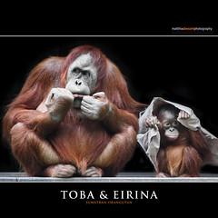 TOBA & EIRINA (Matthias Besant) Tags: look animal animals mammal deutschland monkey tiere hessen looking orangutan ape monkeys mammals apes fell blick tier affen affe orangoutang orangutang sitzen primat schauen gucken hominidae blicken primaten sumatranorangutan querformat saeugetier saeugetiere menschenaffen hominoidea trockennasenaffe menschenartige mygearandme affenfell menschenartig affenblick rememberthatmomentlevel1 matthiasbesantphotography matthiasbesant