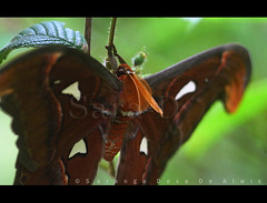 Atlas (Sara-D) Tags: macro nature animals forest rainforest asia wildlife moth insects lepidoptera sl lanka jungle atlas srilanka ceylon lk attacus wildanimals attacusatlas southasia atlasmoth sarad saturniidae serendib saranga dealwis sarangadeva