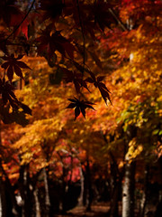 "autumn colors (""KIUKO"") Tags: autumn shadow fall leave silhouette maple toyota    aichi"