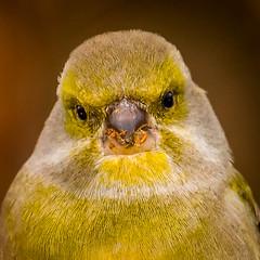 Greenfinch - mugshot (mnielsen9000) Tags: portrait bird closeup nikon greenfinch carduelischloris d600 mygearandme mygearandmepremium mygearandmebronze mygearandmesilver mygearandmegold