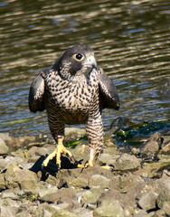 Peregrine Falcon - Peale's Falcon - 2559 (Len Blumin) Tags: bodegabay peregrinefalcon falcoperegrinus falcoperegrinuspealei pealesfalcon