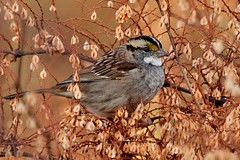White-throated Sparrow (tan striped) (l_dewitt) Tags: statepark nature connecticut wildlife ct sparrow nikonphotos wildbirds naturephotos wildlifephotos specanimal birdphotos connecticutstatepark haleyfarm tanstriped wildbirdphotos mygearandme mygearandmepremium mygearandmebronze mygearandmesilver d5000photos mygearandmegold mygearandmeplatinum whitethroaded
