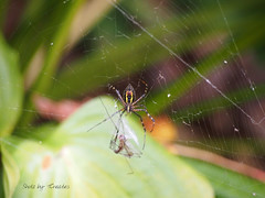 Spider Prepping a Meal (Shotz by TCreates) Tags: usa green nature yellow america insect spider unitedstates spiderweb indiana owencounty