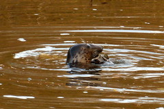 Common Seal in the River Severn Worcester, UK (muffinn) Tags: salmon severn seal worcester commonseal keiththeseal severnseal