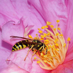 digging in (aokcreation) Tags: pink flower color macro nature animal yellow closeup garden insect botanical wasp blossom wildlife ngc bee hornet concordians blinkagain sonyslta65v