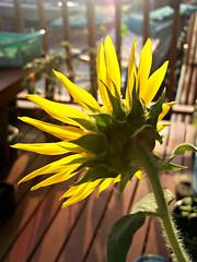like a sunflower (som300) Tags: plant flower sunflower zn5 motorola