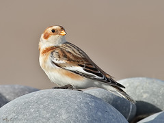 Snow Bunting (roychurchill (local patch birder)) Tags: bird birds canon wildlife devon bunting northdevon snowbunting roychurchill