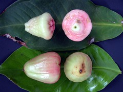 MALAY APPLE  #1   &   WAX JAMBU  #14: Comparison (3Point141) Tags: man florida waxapple myrtaceae waxjambu javaapple syzygium jamrul makopa syzygiumsamarangense malayapple fruitspicepark chompu chomphu jambuklampok syzygiumjavanicum jaamrul jambusemarang jambuairmawar chomphukaemmaem 3point141