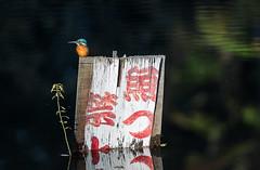 """""""No Fishing"""" (torode) Tags: blue orange green bird nature sign japan board kingfisher weathered nofishing"""