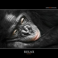 RELAX (Matthias Besant) Tags: smile look smiling animal animals mammal deutschland monkey tiere eyes hessen looking ape monkeys augen mammals apes fell blick bonobo tier affen affe laecheln primat schauen pygmychimpanzee hominidae blicken primaten saeugetier saeugetiere menschenaffen hominoidea trockennasenaffe zwergschimpanse menschenartige mygearandme affenfell menschenartig rememberthatmomentlevel1 rememberthatmomentlevel2 matthiasbesantphotography matthiasbesant