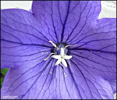 Flor Violeta (celicom) Tags: naturaleza flora flor violeta celicom