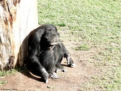 sadness :( (Vicente Ballester Grancha) Tags: africa naturaleza nature valencia animal animals hope sadness tristeza zoo freedom monkey mono spain sad free triste jail afrika animales solitario esperanza chimpance biopark bioparc