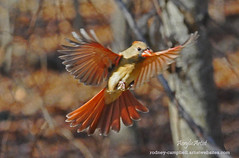 Female Cardinal Landing (AcrylicArtist) Tags: bird birds flying cardinal michigan flight femalecardinal photomix thegalaxy cardinalflying cardinallanding