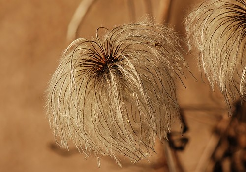 Jackman Clematis Seed Clematis Alpina Seed Head