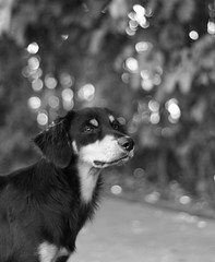 (Alessandra Carreo) Tags: dog canon 50mm dof bokeh cachorro simba 50mm18 canon550d
