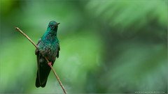 Bronze-tailed Plumeleteer (Raymond J Barlow) Tags: travel bird nature costarica hummingbird wildlife adventure 200400vr allnaturallight nikond300 raymondbarlowtours