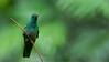 Bronze-tailed Plumeleteer (Raymond J Barlow) Tags: travel bird nature costarica hummingbird wildlife adventure 200400vr allnaturallight nikond300 raymondbarlowtours
