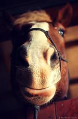 the gift horse (Jen MacNeill) Tags: horse animal barn canon pennsylvania stall photograph chestnut belgian stable equine draft workhorse gelding gypsymarestudios jennifermacneilltraylor jmacneilltraylor