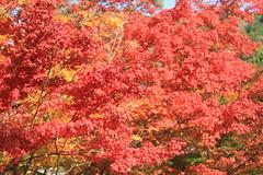 Autumn Colors at Eikando, Kyoto IMG_5717 (TW Jaw) Tags: november japan canon maple kyoto autumnleaves autumncolors 7d eikando