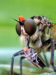 Phoretic mite on Robber fly with Prey (Parag Giri) Tags: india macro robberfly prey predator darjeeling leafhopper diptera asilidae mirik cicadellidae insectindia commensalism phoreticmite   himalayaninsects  mirikinsects darjeelinginsects atkinsoniellaopponens