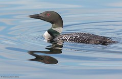 Common Loon Breeding Plumage (rosemaryharrisnaturephotography) Tags: lake water canon ngc npc diver loon commonloon divingbird rosemaryharris commonloonbreedingplumage