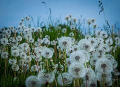Pick Me!....Pick Me!!!....No, no, pick me! (Katrina Wright) Tags: dsc7162 dandelions fluffy flowers bokeh