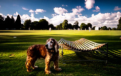 Cocker Cricket (p.g604) Tags: uk blue light summer england sky dog white green english grass clouds britain cricket gb ambient catch spaniel slip cocker hertfordshire redbourn cradle blueswhite