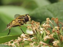 Zweefvlieg (_BieFeen) Tags: fly zweefvlieg insect nature canon powershotsx60hs closeup macro