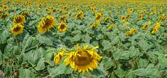 Sunflower Power[Explored] (BernieErnieJr) Tags: sunflower colorado frontrange greatphotographers teamsony rockymountains sonya6300 sony18105mmg flowers flower yellow plains fields field