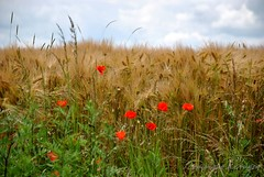 Poppies (FleurdeLotus28) Tags: red france flower color nature fleur field rouge countryside nikon poppies agriculture paysage campagne champ coquelicot bl eureetloir