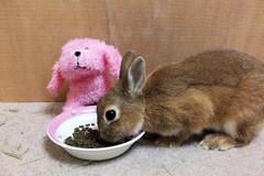 Ichigo san 300  (mensore) Tags: brown bunny cute family ichigo netherland dwarf netherlanddwarf pet rabbit