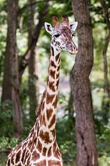 Giraffe #2 (billd_48) Tags: ohio summer animals captive thewilds giraffe cumberland oh usa