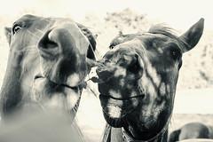 Colts III (feldweg) Tags: horses pferde caballo cavallo koni hest wamckow mecklenburg colt