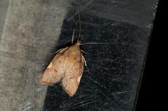 Carcina quercana (zimbart) Tags: arthropoda belgium fauna heterocera lepidoptera malderen marselaer moths insects hexapoda insecta carcina carcinaquercana peleopodidae