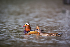 Mandarin ducks (Cloudtail the Snow Leopard) Tags: mandarinente zoo karlsruhe tier animal vogel bird wasservogel swim schwimmen wasser water ente mandarin duck aix galericulata