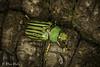 Glorious Scarab (Chrysina gloriosa) (aliceinwl1) Tags: az arizona arizona2016 arthropod arthropoda chiricahuamountains chrysina chrysinagloriosa cochisecounty coleoptera gloriousscarab insect insecta pinerycanyonroad polyphaga rutelinae rutelini scarabbeetle scarabaeidae scarabaeoidea shiningleafchafer beetle gloriosa locpublic viseveryone